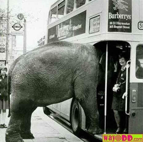 gajah-naik-bis